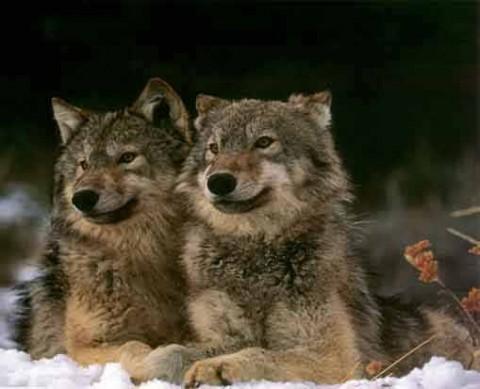 Két farkas